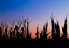 Night Fall on the Corn (Straublund1) Tags: sunset illinois corn farm stalks woodfordcounty