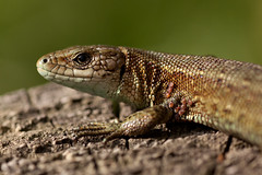 Common Lizard ..female i think. (Rich_Image ...I will catch up eventually) Tags: nature female fence reserve lincolnshire lizard naturereserve scales common mites crowle fencepost commonlizard