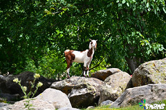 Goat (Arthur Anab Shams (Cheetoo)) Tags: naran saifulmaluk lalazar riverkunhar jalkhad babusarpass lulusarlake babusartop pyalalake gitidaspologround