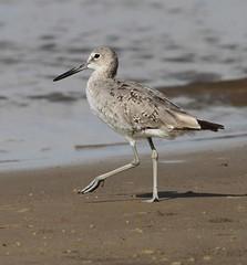 Willet (AllHarts) Tags: nature willet wavelandms mississippigulf awesomebirds pogchallengewinnershalloffame naturesprime stunninganimalsandbirds naturespotofgoldlevel1
