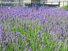 CIMG9054 (Akieboy) Tags: flower blossom lavender bloom esplanadedeladefense