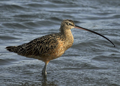 Long Billed Curlew (Explore 8/24/2012) (lgold86) Tags: sanfrancisco nature birds bay nikon long wildlife awesome californai bayshore baylands curlew longbilled billed naturesgreenpeace
