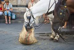 Florence feedbag (Katz&Maus) Tags: italy horse florence portfolio feedbag