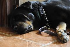 La Paz (manuel g daza) Tags: pets dogs perros mascotas bestfriends afdp52s34 rottweylers