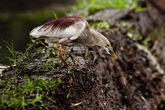 Target Spotted (Jnarin) Tags: heron birds pond bangalore ardeidae indianpondheron ardeolagrayii srirangapatna canoneos1dmarkiii mysoreroad ranganthitu aroundbangalore niranjvaidyanathan canonef100400f4556usmlis
