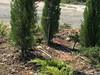 Organic Cyprus Trees