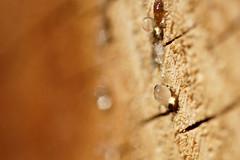 (**Alice**) Tags: wood macro bokeh romania droplet resin 70mm lemn romnia braov pictur sony450 stejeri rin