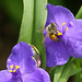 honey bee tradescantia