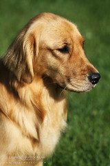 Libby Lou (J.P. Lawrence Photography) Tags: dog animals goldenretriever mammals vertebrate vertebrates canis carnivora canislupus domesticdog canidae vertebrata canislupusfamiliaris