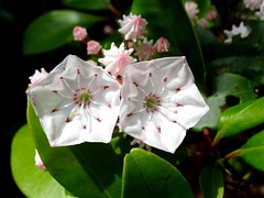 Mountain Laurel flowers (Martin LaBar) Tags: pink flowers sunlight white flower beautiful southcarolina ericaceae lovely mountainlaurel oconeecounty kalmia exceptionalflowers