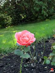 Roses - Hybrid tea rose 'Artistry' - Rosaceae SC20120826 293 (fotoproze) Tags: roses canada rose quebec montreal rosen gl rosas rozen 2012 roser    rosor mawar jardinbotaniquedemontral rsir re re  montrealbotanicalgardens trandafiri arrosak ruusut hoahng       rue    rzsk queenrose vrtnice ris  rhosynnau