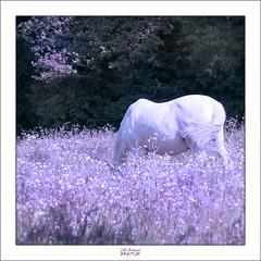 Caballo blanco (Jabi Artaraz) Tags: flowers light horse naturaleza flores blanco luz nature animal caballo natura zb animalia pradera argia pastando behorra euskoflickr caballoblanco aplusphoto jartaraz blinkagain