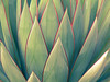 (hurleygurley) Tags: cactus graphic marin iconic gree botanica sucullent artbynature elisabethfeldman graphicsbynature