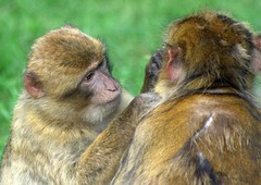 Barbary Macaque (Triker-Sticks) Tags: england nature monkey algeria tunisia wildlife safari gibraltar woburn barbarymacaque copyright2012pwinterfordallrightsreserved