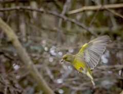 Greenfinch in Flight (Chris McLoughlin) Tags: action greenfinch fairburnings sigma150mm500mm chrismcloughlin sonya580