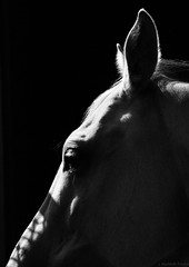 illuminated profile (Jen MacNeill) Tags: light shadow horses horse white black cheval grey shadows equine warmblood gypsymarestudios jennifermacneilltraylor