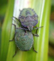 "Shieldbug Nymphs • <a style=""font-size:0.8em;"" href=""http://www.flickr.com/photos/57024565@N00/7988198127/"" target=""_blank"">View on Flickr</a>"