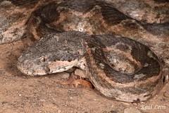 Daboia mauritanica, adulto - Vbora dle Magreb - Moorish viper - (Ral Len Vigara) Tags: del morocco moorish viper marruecos magreb mauritanica vbora dabia