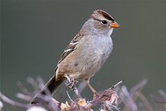 Zonotrichia leucophrys (White-crowned Sparrow) (Nick Dean1) Tags: sparrow washingtonstate songbird whitecrownedsparrow zonotrichialeucophrys turnbullnwr nickdean nickdean1