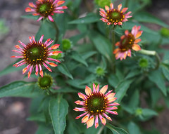 DSC03442 (Old Lenses New Camera) Tags: sony a7r zeiss carlzeiss contax splanar macro 60mm f28 garden plants flowers coneflower echinacea