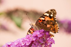 Hello ! (Gisou68Fr) Tags: bokeh vanessacardui vanesseduchardon belledame jardin garden garten canoneos650d efs60mmf28macrousm butterfly macro