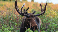 Larger than Life (markalt) Tags: wildlife colorado outside outdoors nature pretty moose america animal canon large unitedstates usavacation mountains mountain indian peaks wilderness antlers photo majestic big