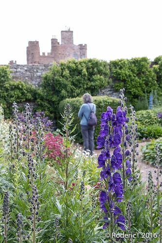 20160628-IMG_4733 Monks Head Flower Castle Of Mey Caithness Scotland.jpg