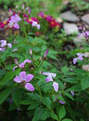 Day 199:  front garden (Mark.Swanson) Tags: flower garden cleome cosmos