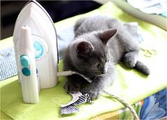IMG_2555 (murkla_la) Tags: cat russianblue moussie gray graycat