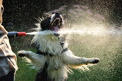 Water attack (plant.wendy) Tags: dog bordercollie border collie black white summer sun sunshine water wet drops hose backlight ray fun pet home green grass garden nice day