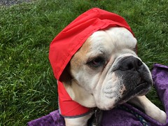 The most tortured bulldog ever (a tank full of gas) Tags: raincoat red trfwiffle wiffleball bulldog bulldogsofinstagram tonka travisroyfoundation
