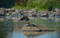 goodbye photographer (rgbshot72) Tags: duck birds water bird nature river animals rocks flight animal green zoo rgb nikon d800e ducks fly