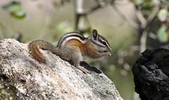 Colorado Chipmunk (Tamias quadrivittatus); Santa Fe National Forest, NM, Thompson Ridge [Lou Feltz] (deserttoad) Tags: nature newmexico animal rodent mammal fauna squirrel chipmunk behavior reflection mountain