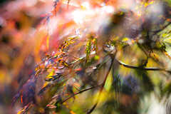 Light play (Daan Heijnen) Tags: ahorn esdoorn maple sun leaves