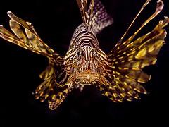 Lionfish (classymis) Tags: classymis aquarium fish lionfish lion fins spines blackbackground