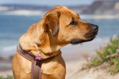 Luna (enigmamcmxc) Tags: 2016 7d bruno canon enigmamcmxc pereira portugal luna dog