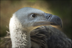 Griffon Vulture (Darwinsgift) Tags: griffon vulture raptor bird prey huntingdon cambridgeshire hamerton zoo park steeple gidding micro nikkor 200mm f4 af d nikon d810