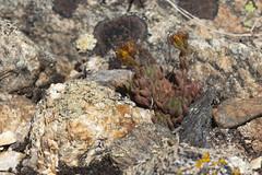 yellow stonecrop (Jeff Mitton) Tags: sedumlanceolatum yellowstonecrop nativeplant wildflower colorado niwotridge earthnaturelife wondersofnature