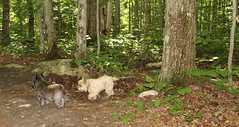 Jeter & Sedum - 8/22/16 (myvreni) Tags: vermont summer nature outdoors animals dogs cairnterriers pets