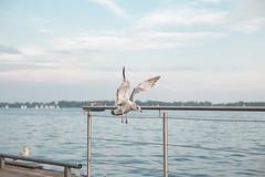 El aterrizaje (La Fbrica Vieja) Tags: canoneos6d ave bird ontario ef2470mmf28liiusm lake lago seagul gaviota canada toronto 6d canon