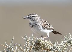 Sabota Lark (anacm.silva) Tags: sabotalark lark ave bird wild wildlife nature birds aves natureza naturaleza africa namibia etosha frica nambia etoshanationalpark mirafrasabota