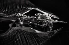 Ray Skeleton (M1randje) Tags: skelet rog naturalis leiden museum indoor white black bw blackandwhite fish animal ray