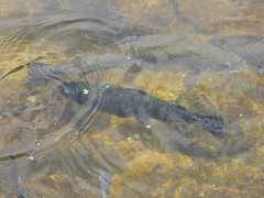 Trout (eltpics) Tags: eltpics thailand nationalpark doiinthanon trout fish inthewater swimming