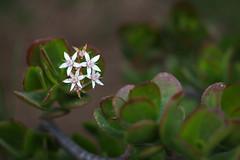 Flores 1 (jaidiva) Tags: flowers flor canont5i 50mm white whiteflower flower flowershoot nature naturaleza