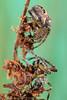 Lariniodes cornutus - female and male (clanchief) Tags: spider spiders macro silk web orb orbweaver furroworbspider mating matingdance canonmpe65mm araneidae araneae foliatespider larinioidescornutus larinioides