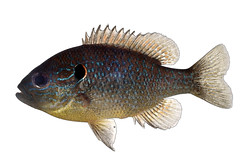 Northern Sunfish (NYS Department of Environmental Conservation) Tags: nysdec nysdepartmentofenvironmentalconservation inland fish freshwater