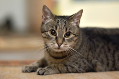 cat ANAiS best (101) (RaceGN) Tags: beauty pretty nikon nikkor d50 portrait animal dof bokeh backround 8g racegeneral anais 85mm f18 cat