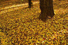 falling leaves (jira saki) Tags: abstract alley autumn avenue background bright bunch color colors countryside day decor design dry fall flora forest frame golden group hiking leaf leaves maple nature nobody november october orange outdoor outdoors park passing pattern peaceful purple red restful road rusty scene season seasonal september serene sunny texture tree wallpaper yellow