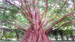 Limbs for days (Tim Loesch) Tags: loverslane dawnredwood redwood limbs tree princeton nj newjersey mercer county