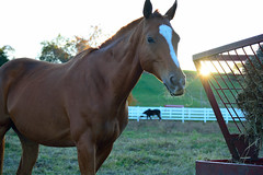 Sunset Horse (mikecosmo) Tags: nikon d5200 usa america outdoors outside 2015 ct connecticut new england newengland sunset uconn university college horse mr ed